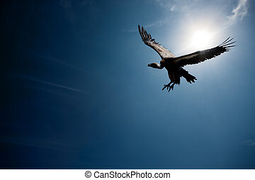 Vulture flying in front of the sun (digital composite) -...