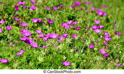 Bloody cranesbill in the wind