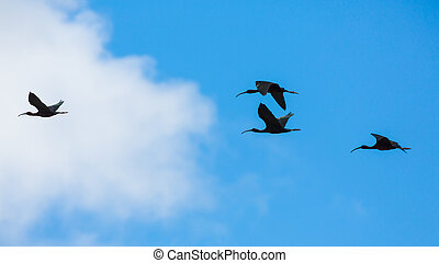 glossy ibis - Group of glossy ibis plegadis falcinellus...