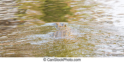 Wildlife crocodile - Rear view of wildlife crocodile over...