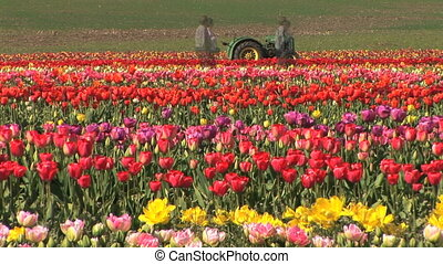 Tulip Field, Time Lapse - People and tractor in a tulip...