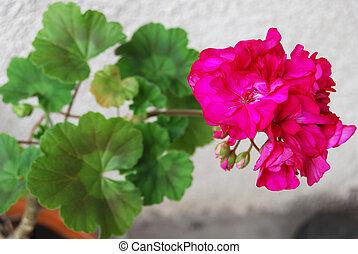 geranium - blooming geranium in the pot