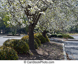 Flowering dogwood trees surrounded by shrubbery