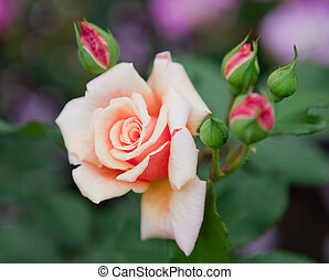 Garden rose, small depth of sharpness
