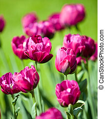 Bright tulips in the spring, small depth of sharpness