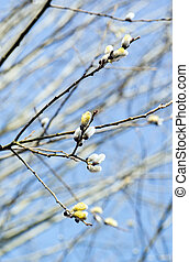 Pussy willow blossom on a tree