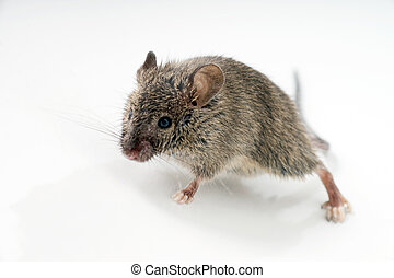 Mouse - little Mouse over a grey background