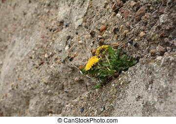 Dandelions growing on a concrete wall
