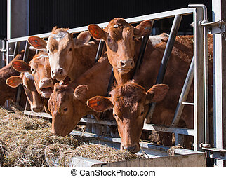 guersney cattle in cowshed - guernsey cattle in cowshed