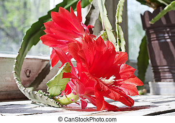 Blooming orchid cactus on the windowsill