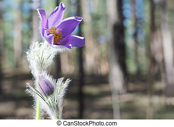 Violet pasque flowers in spring forest