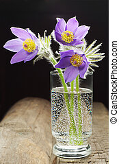 Pasque-flower in a glass on a wooden table