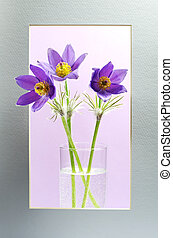 Violet pasque-flowers in a frame - Violet pasque-flowers in...