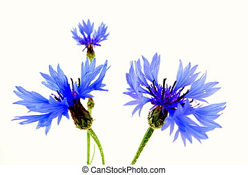 cornflower - three blossoms of the cornflower