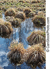 Impassable swamp - Hummocks on the swamp in early spring