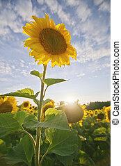 Back lit sunflower at sunset