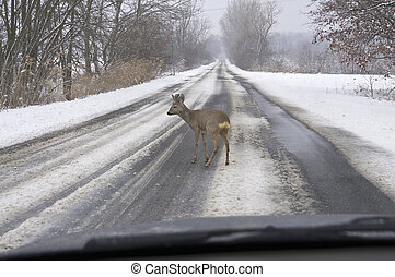 Roe deer before car - Roe deer standing on road before the...