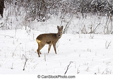 Roe deer at winter in snow