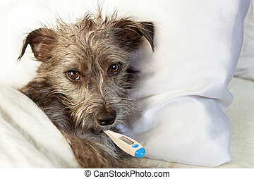 Sick Dog In Bed With Thermometer - A cute sick terrier dog...