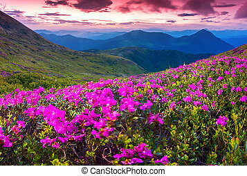 Magic pink rhododendron flowers swaying in the wind - Magic...