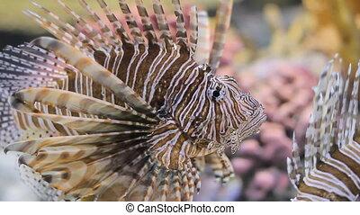 Scorpion fish underwater
