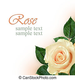 Peach rose flower on white background