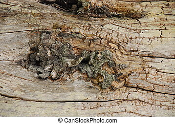 Wood Grain 002 - an old decayed tree showing wood grain and...