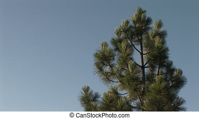 Ponderosa Pine tree at Yosemite National Park - Branch of a...