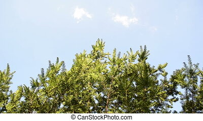 yew bush branches sky - Coniferous yew bush tree branch twig...