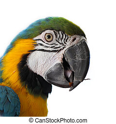 Blue and Gold Macaw (Ara ararauna) on a white background