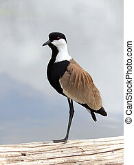 lapwing standing on one leg