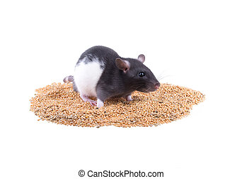 rat sits on a pile of millet
