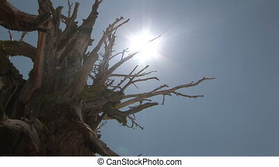 Sun Shining through Bristlecone Pine, Yosemite National Park...