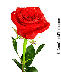 Red rose with green leaves and water drops isolated on white...