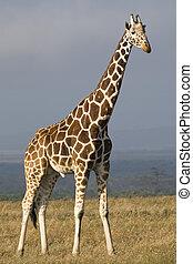 verästelte sich,  Giraffe