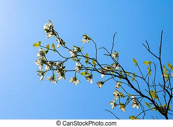 White flowering dogwood tree Cornus florida in bloom in...