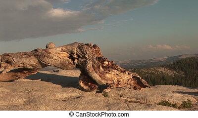 Bristlecone Pine trunk, Sentinel Dome, Yosemite National...