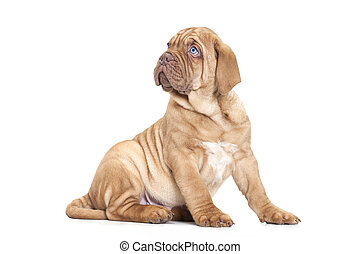 French Mastiff puppy - Puppy of Dogue de Bordeaux (French...
