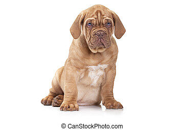 French Mastiff puppy over white background - Dogue de...