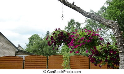 petunia flower pot hang - Pots with red petunia flowers hang...