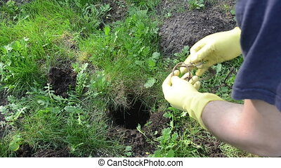 gardener mole trap - Gardener man hands with rubber gloves...