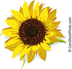 sunflower vector isolated on white background
