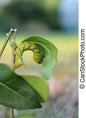 deaths head hawkmoth caterpillar - this is the caterpillar...