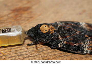 death's head hawkmoth - this moth is the death's head...