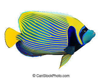 Emperor angelfish Pomacanthus imperator on white, vector...