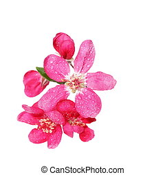 Red apple blossom with drops of water, isolated on white,...