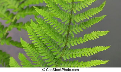 Fern Leaves - Green fern leaves
