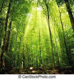Sunbeams falling into the forest - Sunbeams falling into a...