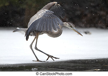 Great Blue Heron Stalking its Prey on Partially Frozen River...