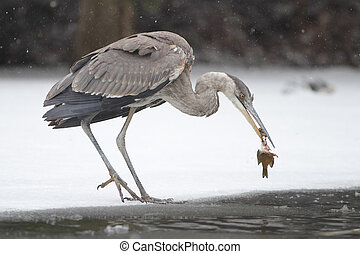 Great Blue Heron Eating a Dead Fish on Partially Frozen...